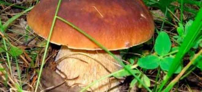 Білий гриб: фото і опис, як готувати