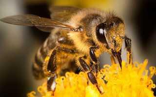 Породи бджіл — карпатська, карника, середньо руської, фото і опис медоносних бджіл, відео