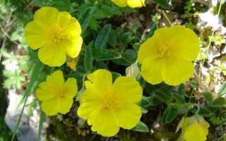 Багаторічник солнцецвет — посадка і догляд, вирощування з насіння, відео