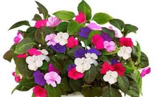 Квітка Ванька мокрий — догляд в домашніх умовах, інша назва, розмноження, фото, відео