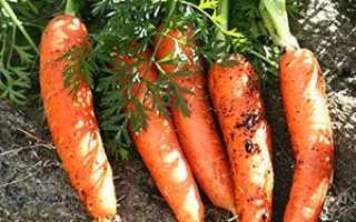 Кращі сорти моркви для відкритого грунту з фото і описом + відео