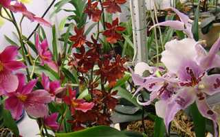 Орхідея Камбрія — догляд в домашніх умовах, вибір грунту, пересадка, фото, відео