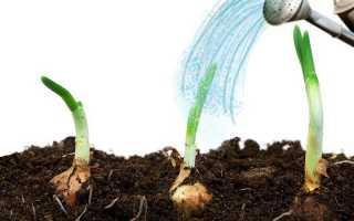 Як часто поливати цибулю в відкритому грунті і коли його можна припиняти пізньої весною 2019 року |