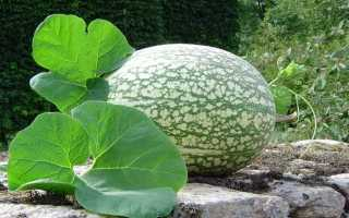 Гарбуз з чорними насінням. Фіцефалія. Догляд, вирощування, розмноження. Використання. Фото.