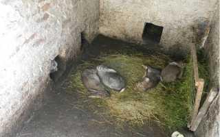 Кролі — розведення кроликів в ямі, догляд за тваринами, відео