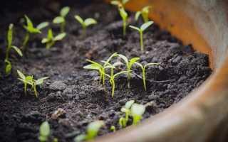 Вирощування молюцелли з насіння. ірландські дзвіночки