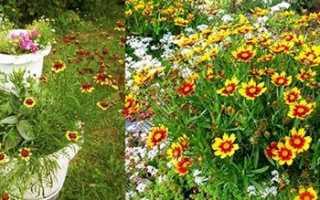 Кореопсис однорічний, вирощування з насіння, посадка і догляд, відео