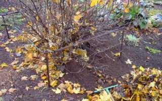 Осіннє внесення добрив під виноград і смородину: які підгодівлі і коли їх робити, відео
