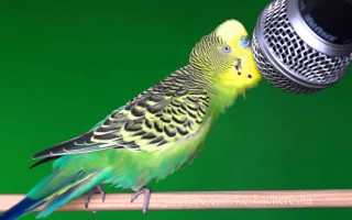 Корм для папуг, ніж годувати хвилястих папужок крім корму, відео
