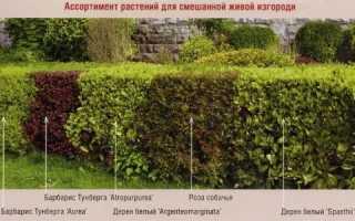 Кущі для живоплоту: низькорослі і високі види рослин, відео