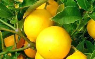 Лимон — вирощування і догляд в домашніх умовах, як виростити плодоносні рослина, відео