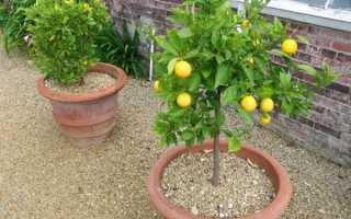 Лимон кімнатний — способи збільшення плодоношення, відео