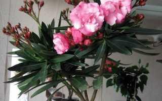 Олеандр квітка. Опис, особливості, види і догляд за олеандром