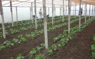 Коли висаджувати розсаду огірків в теплицю, відео