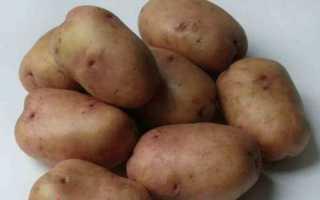 Cорт картоплі фото і опис