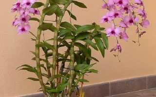 Епіфітна орхідея дендробиум — особливості рослини і період цвітіння, відео