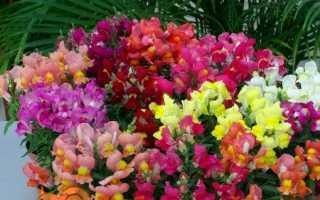 Левиний зів — вирощування з насіння, коли садити розсаду. Види і сорти з фото