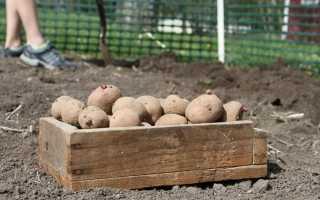 Особливості вирощування картоплі: підготовка і посадка. Як посадити картоплю? фото
