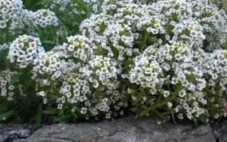 Алиссум. Опис і догляд за квіткою аліссума
