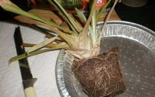 Гузмания — як врятувати, якщо рослина залили, рекомендації, відео