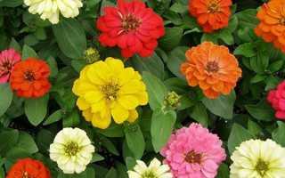 Цініі — посадка і догляд у відкритому грунті насінням навесні, коли садити, відео