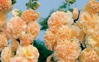 Шток троянда — вирощування з насіння, коли садити на розсаду. Мальва — посадка і догляд
