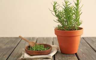 Розмарин в саду і вдома — ароматна пряність без особливого клопоту. Вирощування, розмноження, фото