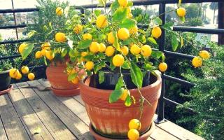 Чим підгодувати лимон в домашніх умовах