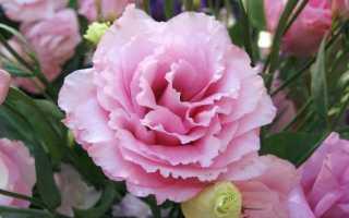 Еустома — вирощування королеви букетів. Посадка і догляд. фото
