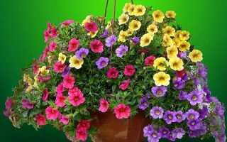 Калібрахоа квітка. Опис, особливості, види і догляд за калібрахоа