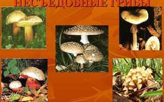 Неїстівні гриби — фото з описом рядовками неїстівної, сироїжками, відео