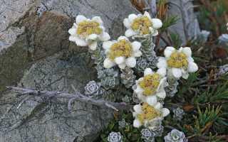 Посадка і догляд за едельвейсом — вирощування з насіння, коли цвіте, фото, відео