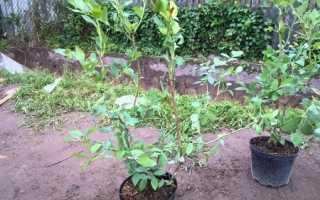 Як садити лохину, яка грунт потрібна і де краще, відео