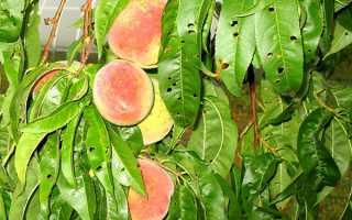 Шкідники персика — як боротися зі щитівкою, обробки, відео