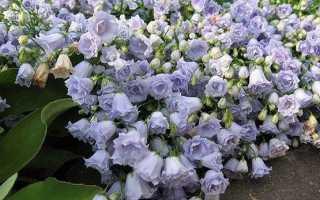 Кампанула квітка. Опис, особливості, види і догляд за кампанула