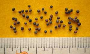 Коли садити капусту на розсаду в 2020 році за місячним календарем