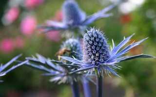 Як виростити синьоголовник з насіння? Розмноження. фото
