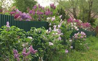 Посадка бузку — коли можна садити, де краще вирощувати, підгодівля і догляд, відео