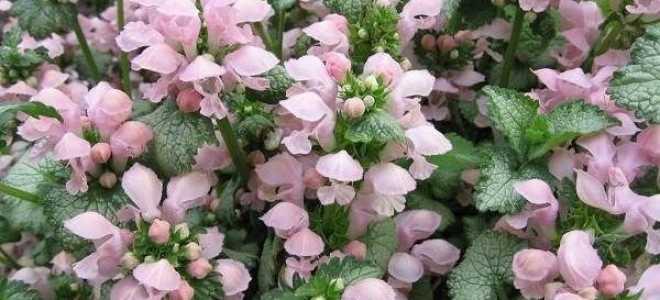 Яснотка квітка. Опис, особливості, види і догляд за глухої кропиви