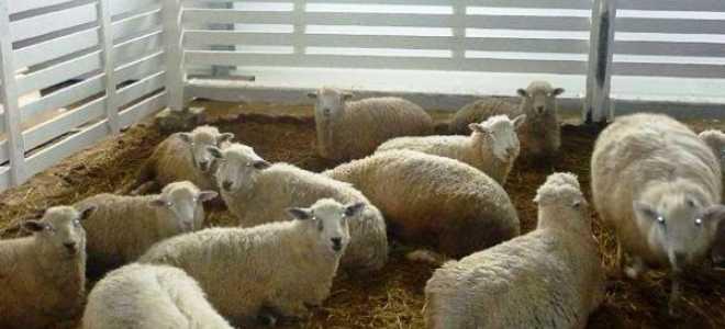 Вівчарство як бізнес для початківця фермера в домашніх умовах на просторах Росії, бізнес план, відео