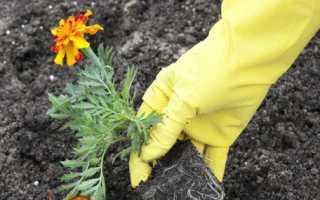 Чорнобривці: посадка і догляд у відкритому грунті. фото квітів