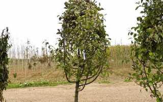 Опис кращих сортів яблунь з фото + вдео
