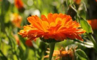 Календула — вирощування і догляд. Нігтики. Опис, фото
