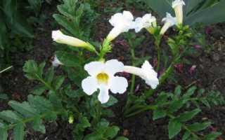 Інкарвіллея Делавея Сноутоп: опис сорту і особливості вирощування, відео