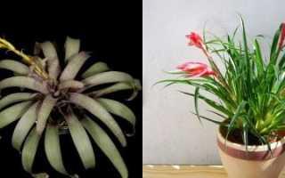 Вріезія — різновиди для вирощування вдома, характеристики, відео