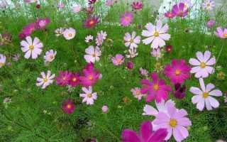 Квіти космея — різновид, правила вирощування, відео