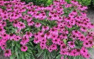 Брахікома квіти. Опис, особливості, види і догляд за брахікомой