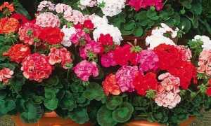 Герань кімнатна — фото, види, догляд, розмноження, користь квітів