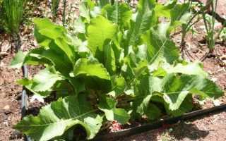 Вирощування хрону на городі — підготовка насіння, посадка, відео