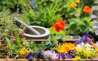 «Чайний» квітник — клумба для вирощування пряних і лікарських трав. Вибір рослин. догляд